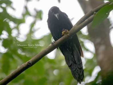 Malayan Black Magpie at Hindhede Nature Park. Photo credit: Kenneth Chow