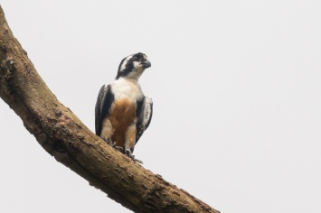 Black-thighed Falconet at National Equestrian Centre. Photo credit: Francis Yap