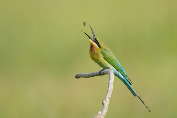 Blue-tailed Bee-eater at Seletar Aerospace Crescent. Photo credit: Francis Yap