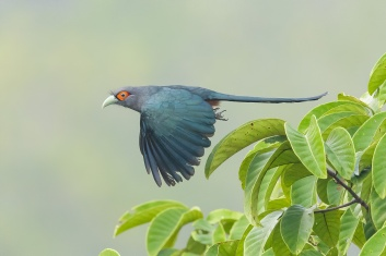 Chestnut-bellied Malkoha at Jelutong Tower. Photo credit: Francis Yap