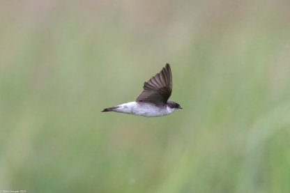 Siberian House Martin at Neo Tiew Harvest Lane. Photo Credit: Mike Hooper