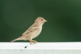House Sparrow at Tuas South. Photo credit: Francis Yap