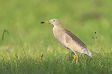 Indian Pond Heron at Dover. Photo credit: Francis Yap