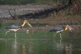 Lesser Adjutant at Sungei Buloh Wetland Reserve. Photo credit: Francis Yap