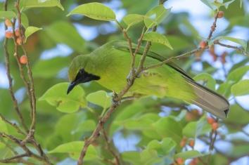 Lesser Green Leafbird at Bukit Timah summit. Photo credit: Francis Yap