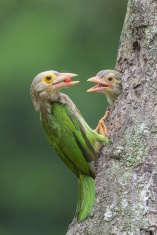 Lineated Barbet at Toh Yi Drive. Photo credit: Francis Yap