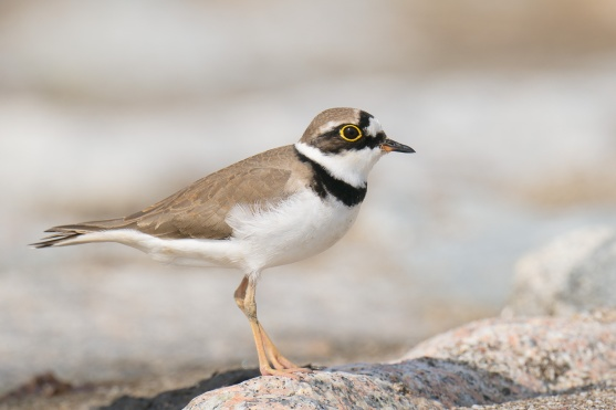 Little Ringed Plover at Marina East Drive. Photo credit: Francis Yap