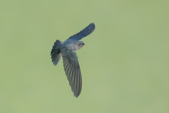 Plume-toed Swiftlet at Singapore Quarry. Photo credit: Francis Yap