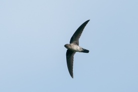 Plume-toed Swiftlet at Jelutong Tower. Photo credit: Francis Yap