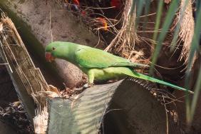 Rose-ringed Parakeet at Malcolm Park. Photo credit: Francis Yap