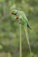 Rose-ringed Parakeet at Pasir Ris Park. Photo credit: Francis Yap