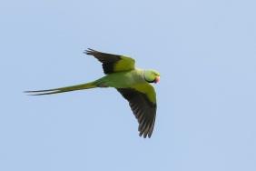 Rose-ringed Parakeet at Sungei Ulu Pandan. Photo credit: Francis Yap
