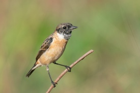 Stejneger's Stonechat at Neo Tiew Harvest Lane. Photo credit: Francis Yap
