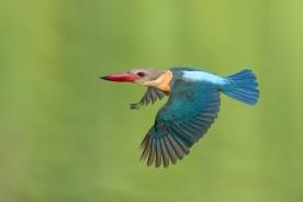 Stork-billed Kingfisher at Singapore Quarry. Photo credit: Francis Yap