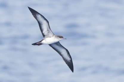 Underparts of a pale morph Wedge-tailed Shearwater at Japan. Photo credit: Keita Sin