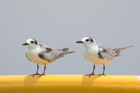 White-winged Terns at Singapore Strait. Photo credit: Francis Yap