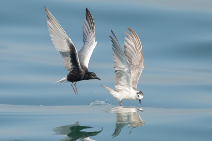 Breeding plumaged and non-breeding plumaged White-winged Terns at Singapore Strait. Photo credit: Francis Yap